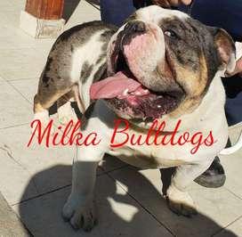 Bulldog Ingles Black Tri MERLE busca novia!