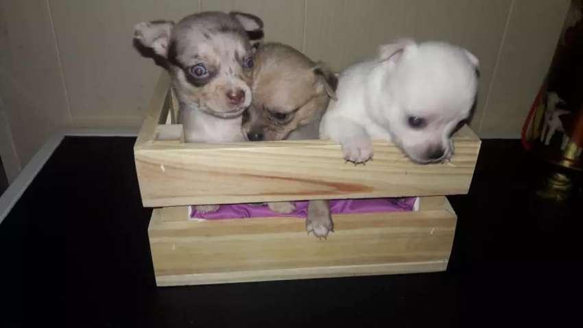 hermosas Chihuahuas mini hembras y machos 0
