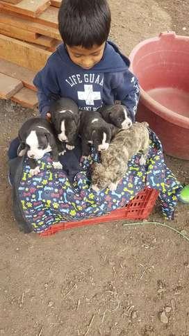 Venta de cachorros AMERICAN BULLY (tienen 1 mes)