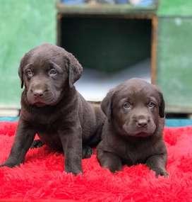 Espectaculares Labrador chocolate