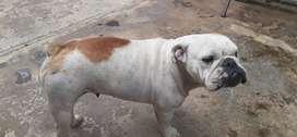 Vendo Perrita bulldog 2 años