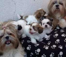 Cachorritos shitzu toy
