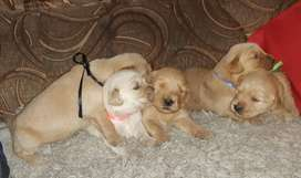 CACHORRITAS GOLDEN RETRIEVER