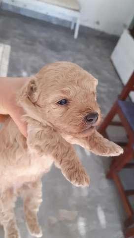Hermosos cachorros caniches mini blancos