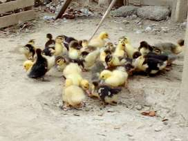 Patitos Bebes de Corral