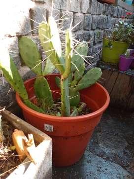 Cactus (chumbera)