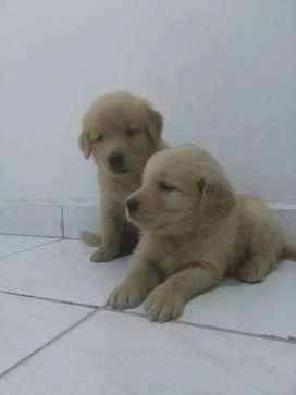 Cachorritas golden listas para su nuevo hogar