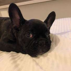 Bulldog frances, color negro solido. 77 dias.