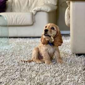 cocker spaniel amorosos bebes certificados caninos 55 dias