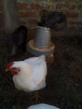 Se vende pollo en pie