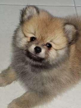 Pomerania cara de oso