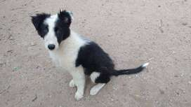 Cachorro Border Collie Blanco y Negro MACHO