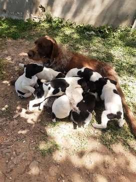 Cachorros bracco