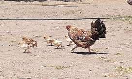 Vendo pollitos quiquiriqui