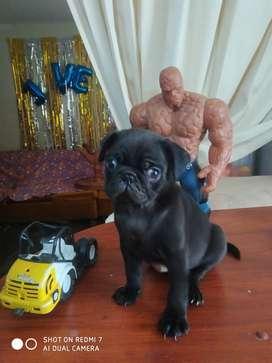 Cachorro pug carlino