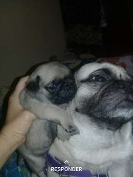 Cachorros Pug