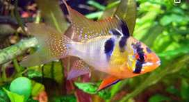 Venta de peces Ramirezi