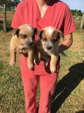 Cachorros de Australian Cattle dog