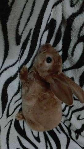 Conejo Rex en Venta