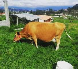 Vendo hermosa vaca Jersey preñada de 8 meses