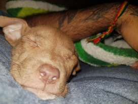 Cachorra pitbull terrier 2 meses