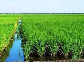 Se vende terreno ( 4 hectáreas) para siembra de arroz tierra muy fértil interesados llamar en cantón baba