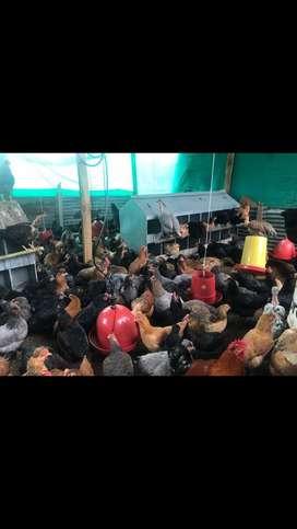 Vendo gallinas criollas ponedoras