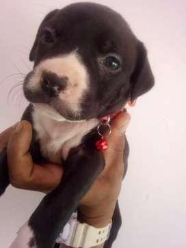 Cachorra pit bull estanfor de dos meses desparacitada y primera vacuna