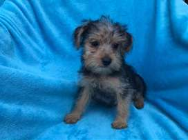 Yorkshire Terrier ( yorki) CACHORRITOS disponibles