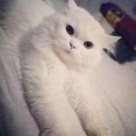 Gato persa clásico busca novia
