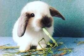 Conejos Holland Lop de orejas caídas