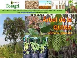 Venta de Árbol de la Quina, Semillas