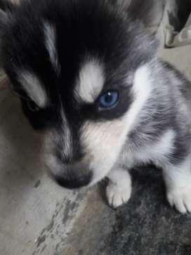 Se vende perros HUSKY siberianos