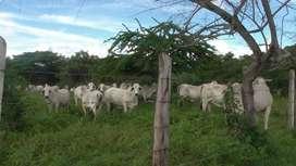 Hacienda  Ganadera -productora de pasto
