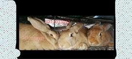 Conejos gigantes y mascota