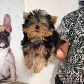 Opus yorkshire terrier mini