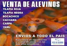 ALEVINOS DE TILAPIA, CACHAMA Y TRUCHA