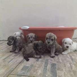Cachorros snauzer