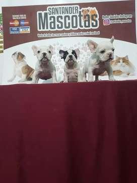 Originales bulldog francés niños y niñas disponibles