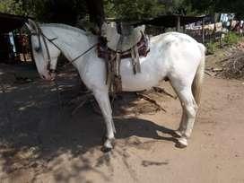 Vendo caballo manso de andar tiene 7 años