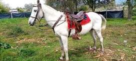 Vendo bonito caballo para paseos