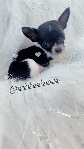 Chihuahua micro macho garantizado