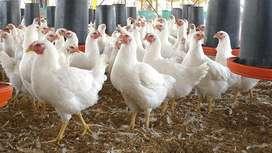 Venta de pollo criollo