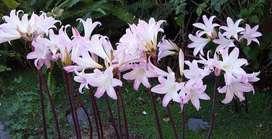 Bulbos de Amaryllis Belladonna
