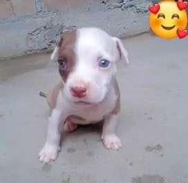 Vendo cachorro Pitbull  Macho ojos celestes