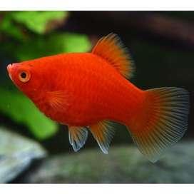 Peces Platys Y Guppys Por docena para acuario