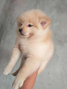 Pomeranian machito de 3 meses