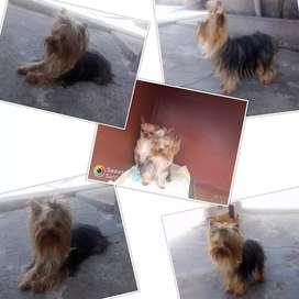 montas Hermoso perrito YORKSHIRE mini toy