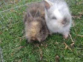 Conejos teddy pareja