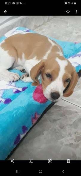 Vendo perra cachorro  Beagle